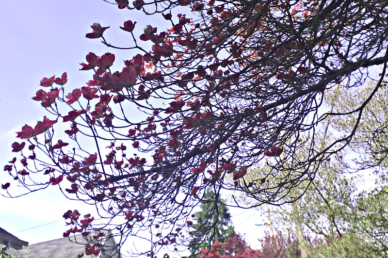 dogwood bough starting to bloom