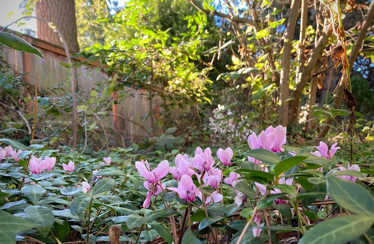pink cyclamen amidst other greenery in a backyard