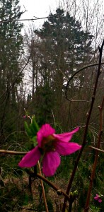salmonberry blossom against background of briars and evergreens