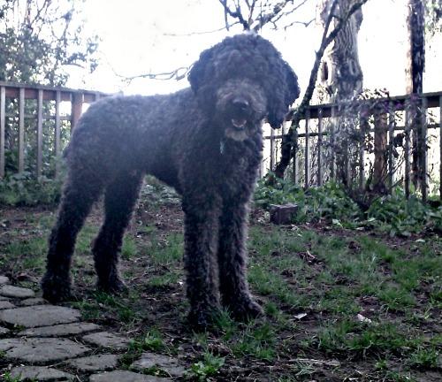 Basil the standard poodle