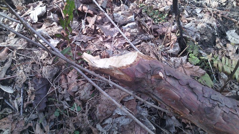 Small log gnawed through by beaver